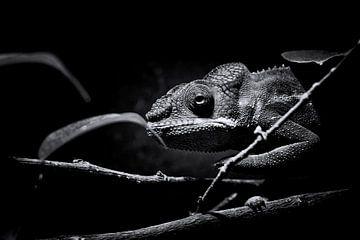 Panter Kameleon