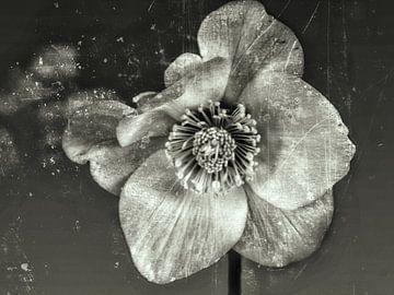 sneeuw rose van Christine Nöhmeier