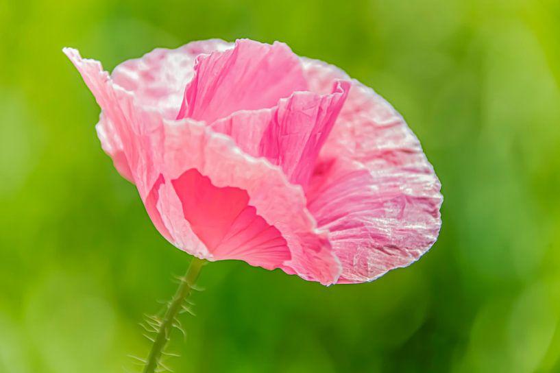 Roze klaproos van Masselink Portfolio