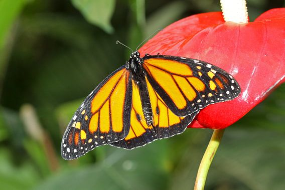 Monarch vlinder (Danaus Plexippus) van Antwan Janssen