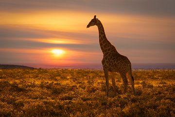 Giraffe bij zonsondergang van Chris Stenger