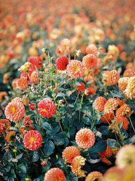 Feld mit Dahlienblüten von Hanke Arkenbout