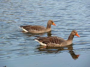 Two gray geese