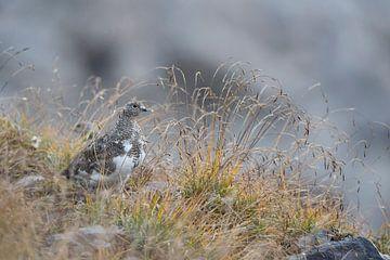 Alpenschneehuhn ( Lagopus muta ) in natürlicher Umgebung in den Schweizer Alpen, wildlife, Eu von wunderbare Erde