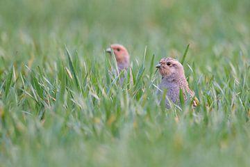 Grey Partridges ( Perdix perdix ), stretching their necks out of a field of winter wheat, van wunderbare Erde