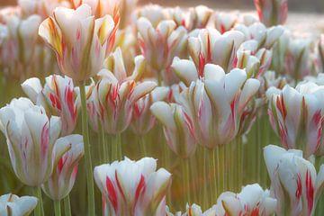 Tulpen von Corine Harkes