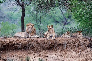 Leeuwen familie liggend op droge rivier oever, Zuid-Afrika van