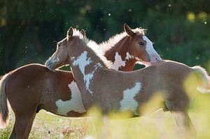 Wilde paarden in de Rijnstrangen van
