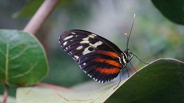 vurige vlinder. van Lieke Elsinga