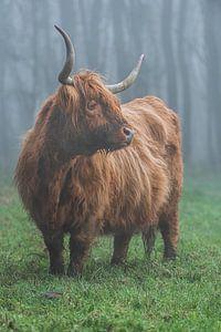 Schotse hooglander mist
