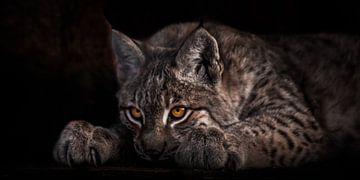 Liegend und blickend mit leuchtenden Augen, ein schöner Luchs auf schwarzem Grund, der Kopf liegt au von Michael Semenov