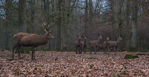 Edelherten in het bos van Michiel Leegerstee
