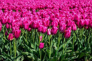 Tulpen van Hans Tijssen