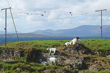 Ierland, schapen liggen heerlijk onder de waslijn te zonnen sur