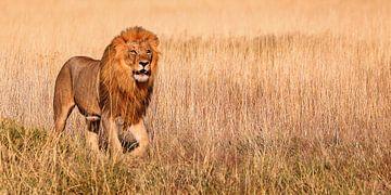 König von Etosha, Namibia