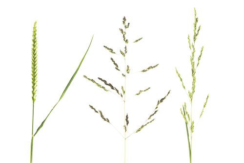 3 groene gras soorten op witte achtergrond