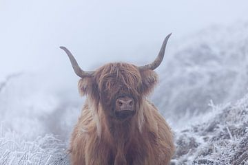 Schottischer Highlander in gefrorener Welt von Karla Leeftink