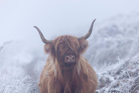 Schotse hooglander in bevroren wereld
