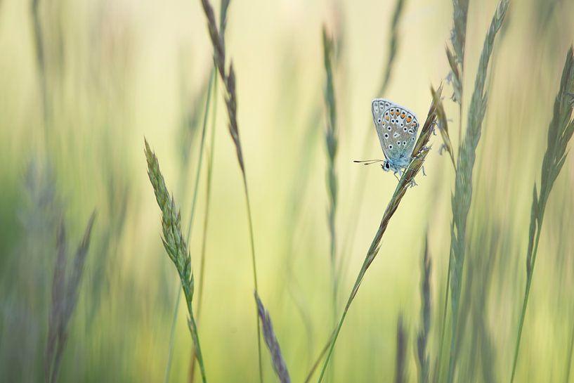 Vlinder in het gras / Single common blue butterfly resting between grass blades von Elles Rijsdijk