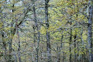 oude lariksen in de bergen in Spanje lopen uit met lichtgroene knoppen van