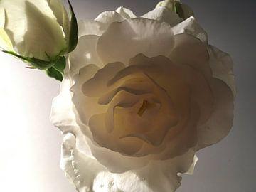 Witte roos van Geja van Dijk