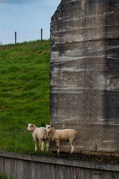 Zwei Schafe in der Nähe eines Bunkers von Nynke Altenburg