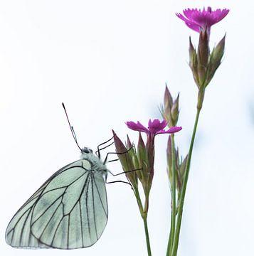 Vlinder op anjer von Fokko Erhart