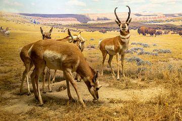 Pronghorn Diorama in der Halle der nordamerikanischen Säugetiere im Amerikanischen Museum für Naturg von Mohamed Abdelrazek