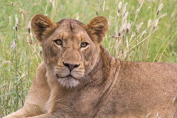 Leeuwin staren  naar zebra, kruger national park, zuid afrika van