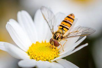 een zweefvlieg eet van een madeliefje van Marc Goldman
