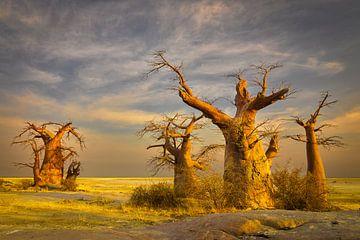 Baobabbäume in Botswana von Chris Stenger
