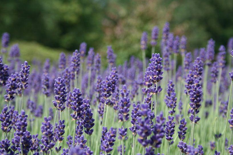 Lavendel van Jasper Hovenga
