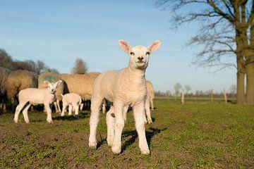 Lamm auf der Wiese von Elles Rijsdijk
