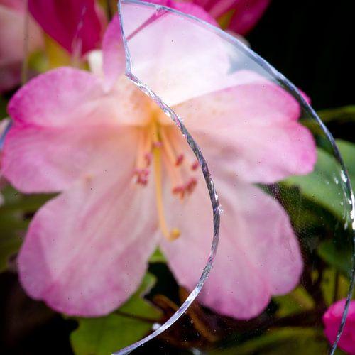Scherf en bloei