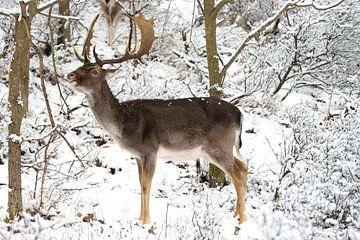Damhert in de sneeuw van Merijn Loch