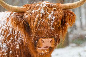 Bétail Highland écossais dans la neige