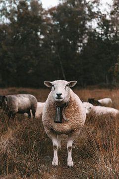 Schafe in der Heide von Jibbe Vloedgraven