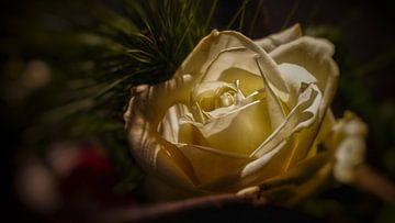 Rose zwischen Tannennadeln in weihnachtlicher Atmosphäre von Erwin Floor