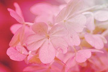 Zart in pink van