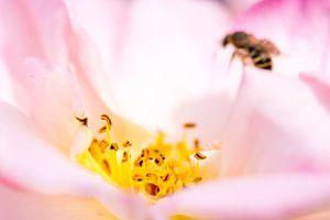 een roos en haar meeldraden met insect op de achtergrond van