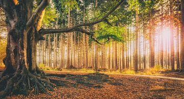 Bakkeveense bos in herfstkleuren tijdens ondergaande zon von Martijn van Dellen