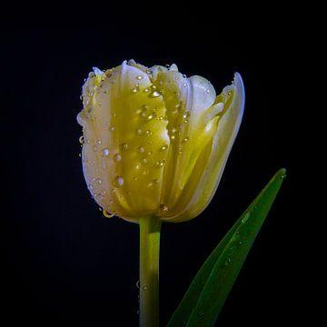 Gele Tulp van Danny van de Graaf