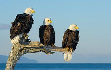 Drei Weißkopfseeadler von Harry Eggens