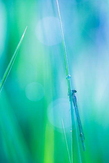 Waterjuffer op nat riet met groene achtergrond