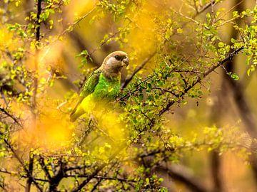 Agapornis dwerg papegaai von Rob Smit
