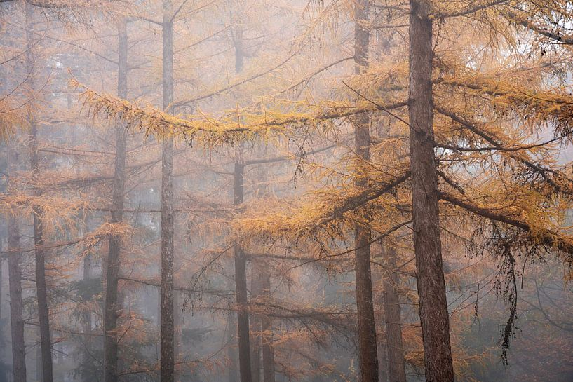 Najaars larix in dichte mist van Rick Kloekke