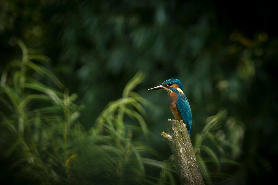 IJsvogel van Sander Meertins
