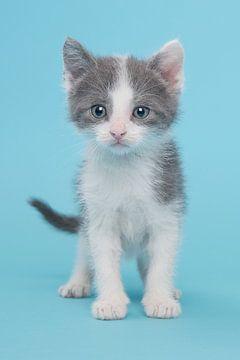 Kitten in het blauw van