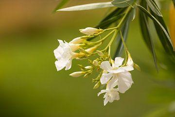Witte oleander van Marijke van Eijkeren