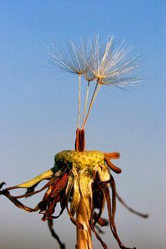 Paardebloem pluisjes van Dennis Claessens